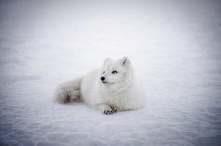 renard-arctique-2